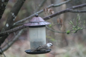leucistic sparrow-type bird