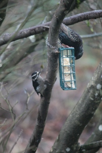 downy woodpecker and starling