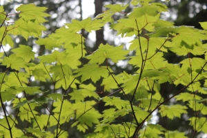 Mt. Rainier, vine maple